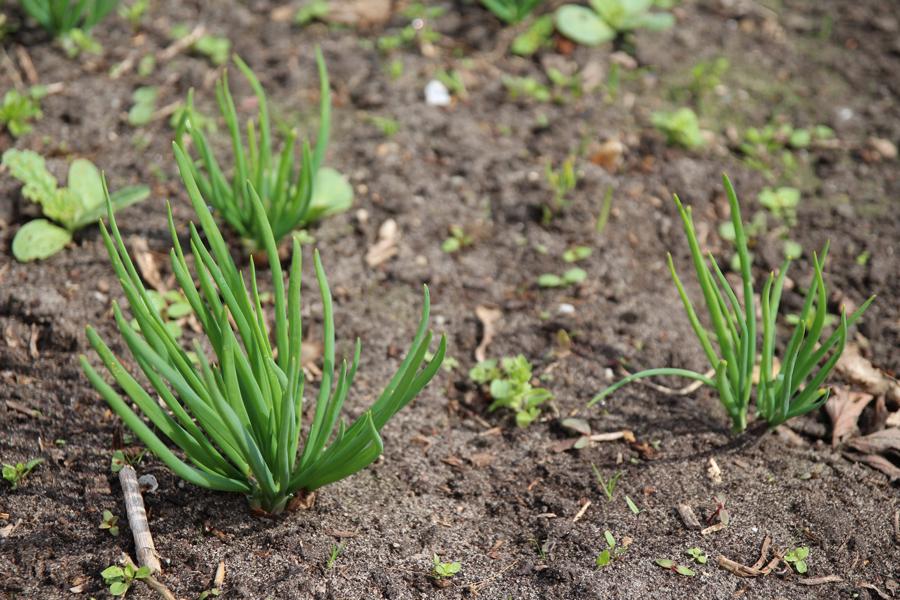 Jonge bieslook plantjes