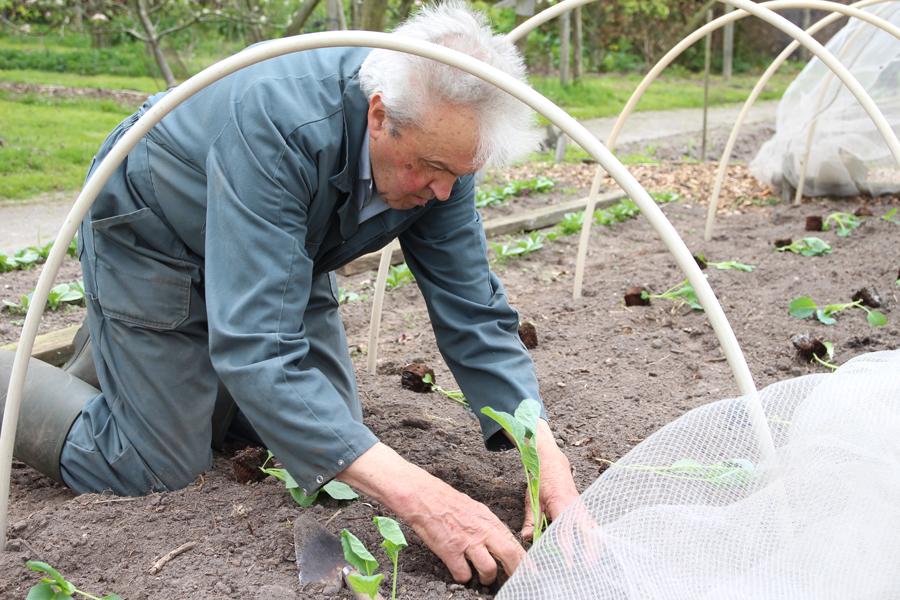 Piet plant kool in de moestuin