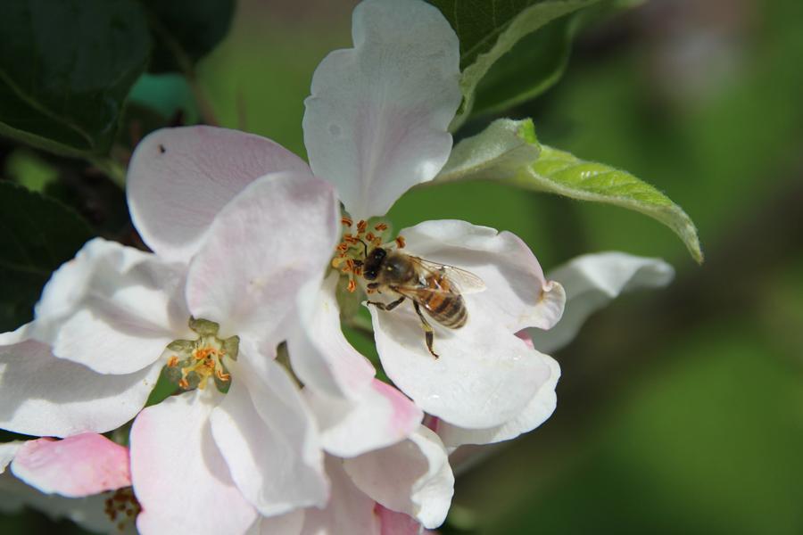 Bij op appelbloesem in de natuurtuin