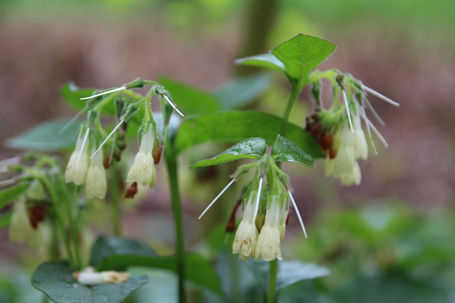 Inheemse planten