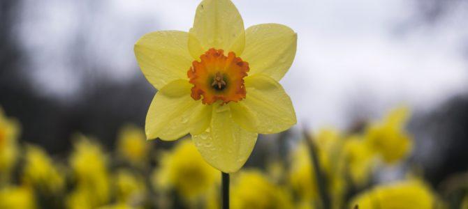 Aandacht voor biologische bloembollen
