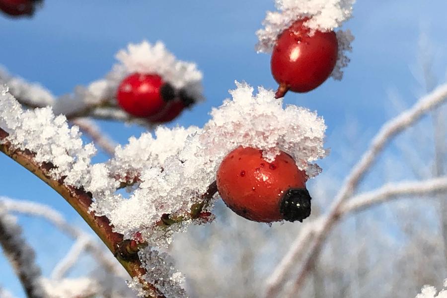 rozenbottels in de sneeuw
